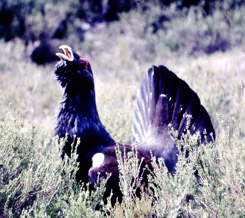 capercaillie 20110119 1590189237