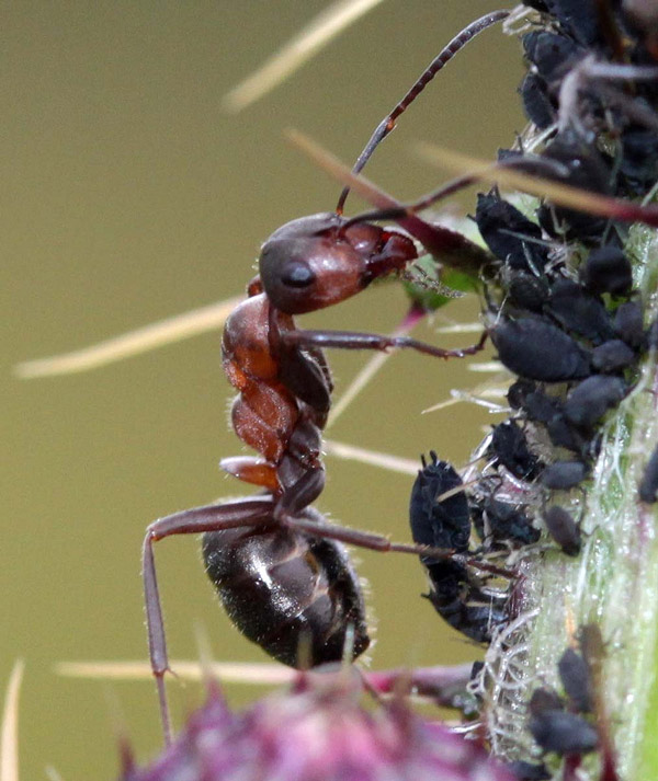 Hairy-wood-ant-with-aphids-credit-BSCG-600