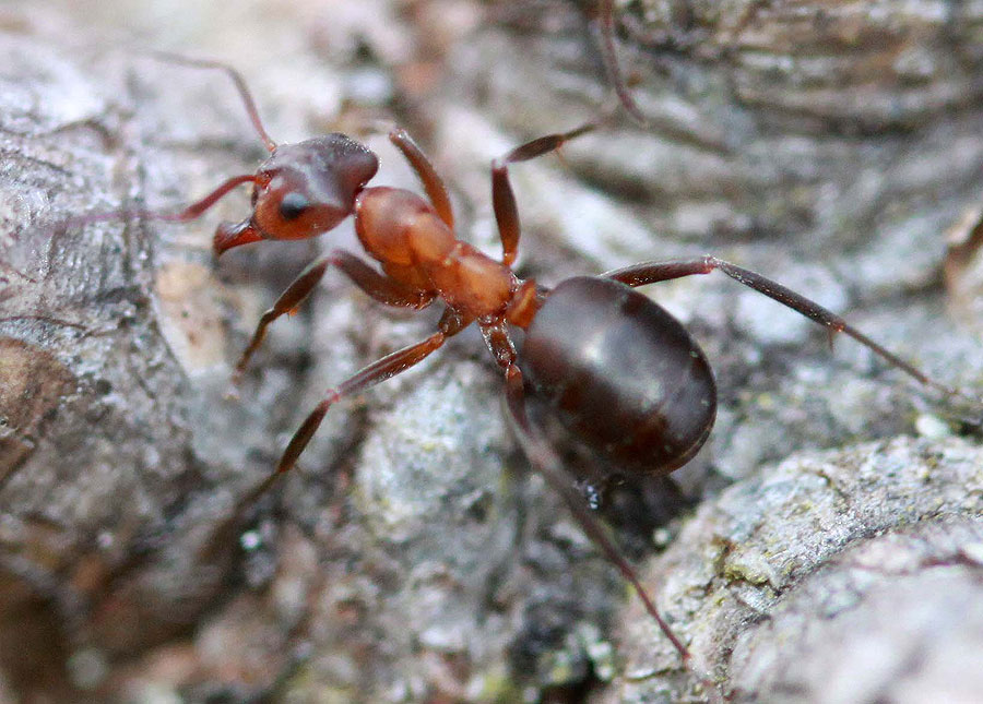 narrow-headed-ant-carrbridge