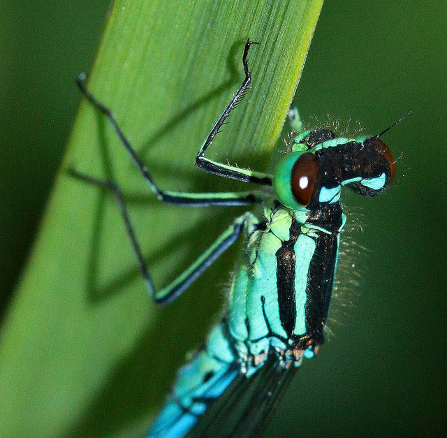 northern-damselfly