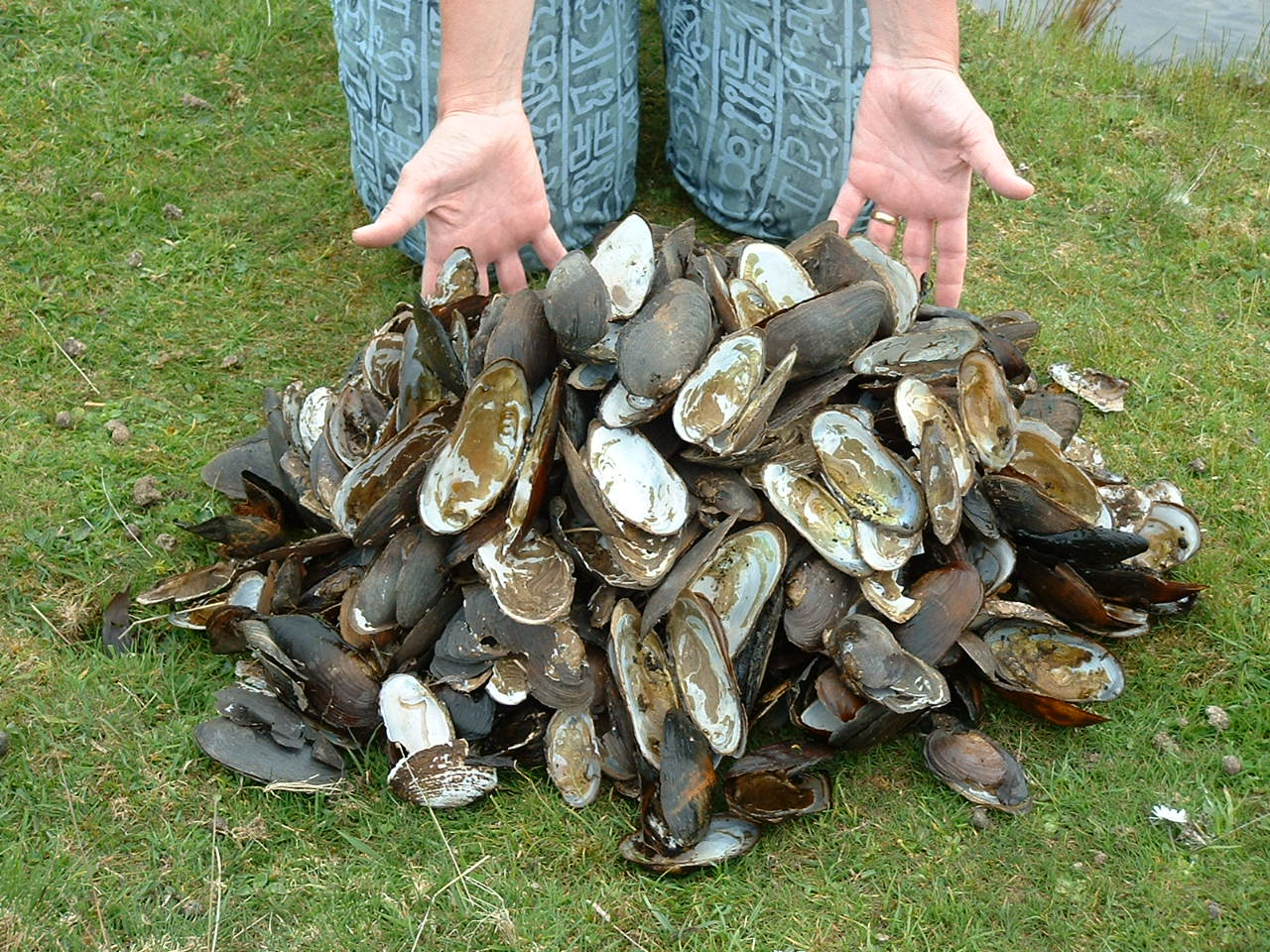 fresh water pearl mussel shells  discarded by poachers copyright Peter Cosgrove