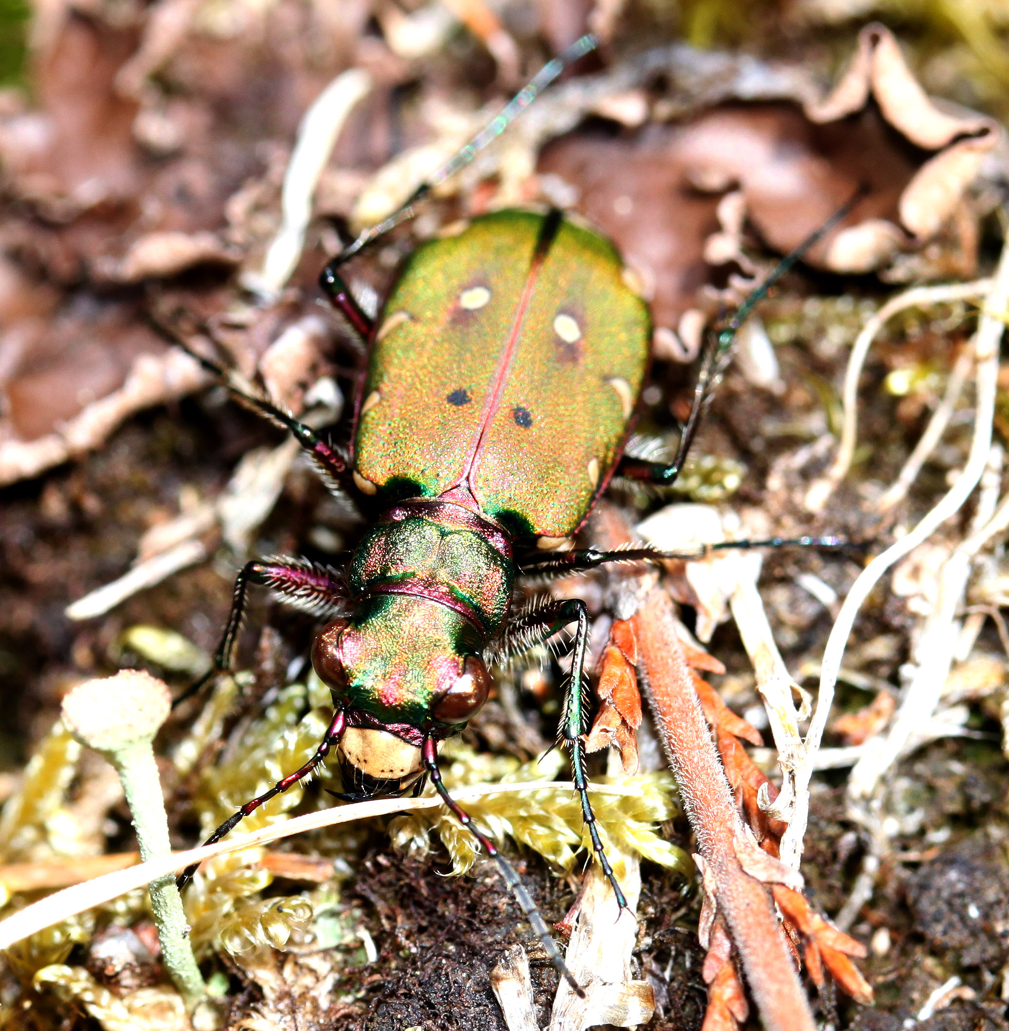 green tiger beetle - cicindela campestris 20100609 1871364749