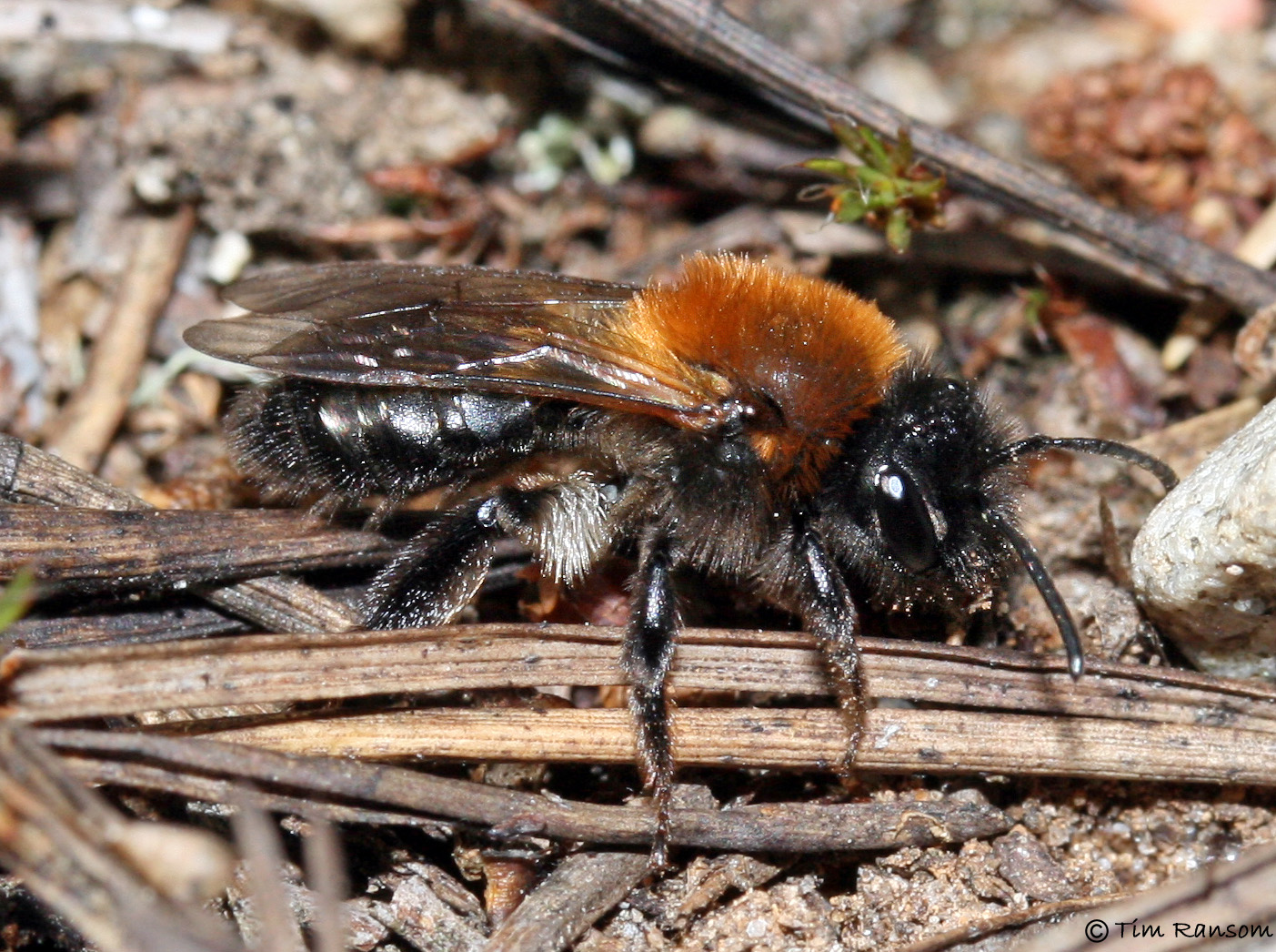 bee - andrena lapponica tim ransom bscg 20100508 1791644104
