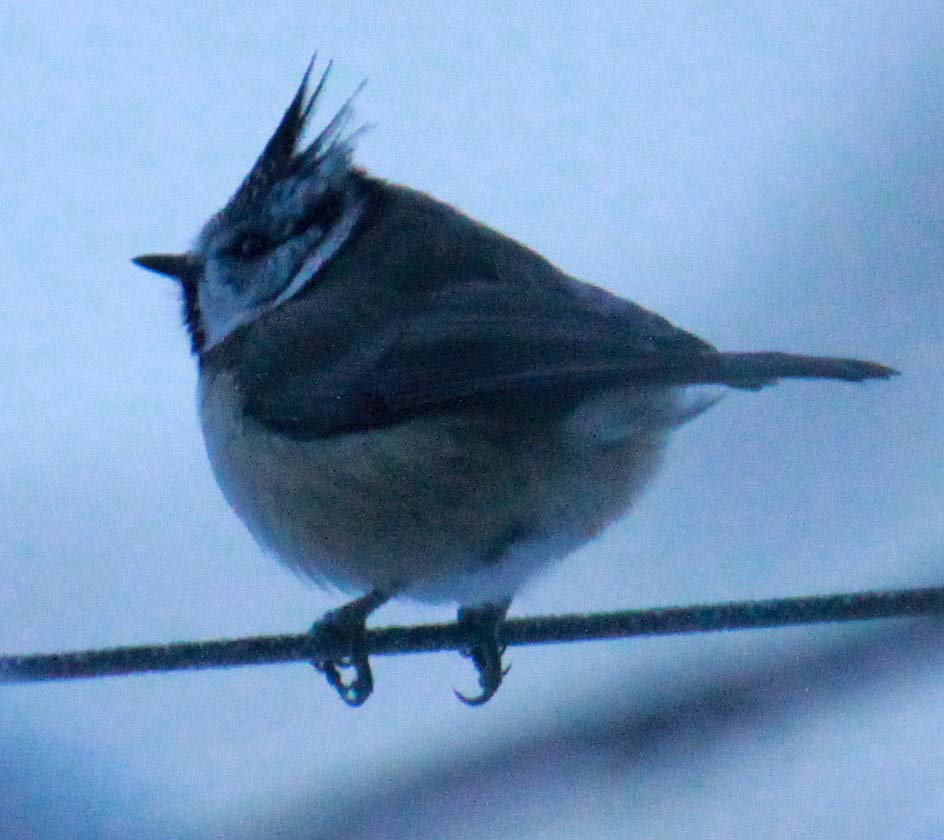 crested tit at boat of garten wood 20110105 1429079749