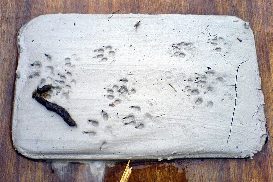 mink tracks and scats 1 20110623 1679096354